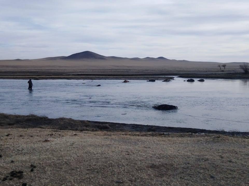 Хэрлэн голоос 500 орчим малын сэг зэмийг зайлуулж цэвэрлэжээ